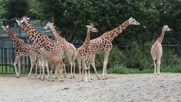 Herd of giraffes with cub.