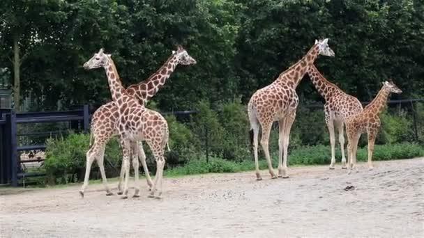 Žirafy s mládě.
