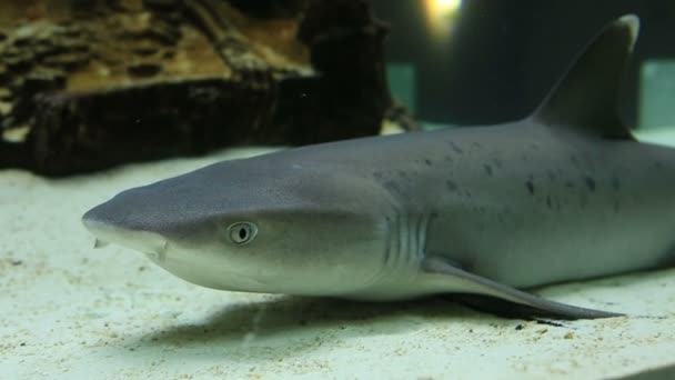 Requiem sharks are family Carcharhinidae