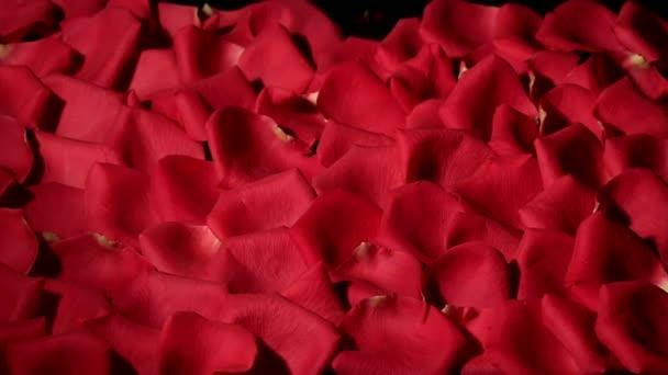 Szél fúj, a fekete háttér piros rózsaszirom