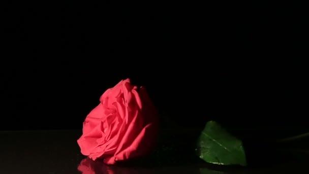 Rose se vrhne na černém pozadí. Zpomalený pohyb