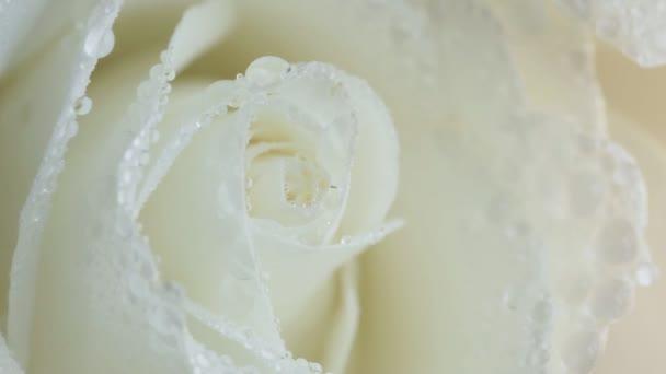 Bílá růže. Zblízka