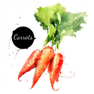 Carrots. Hand drawn watercolor painting on white background