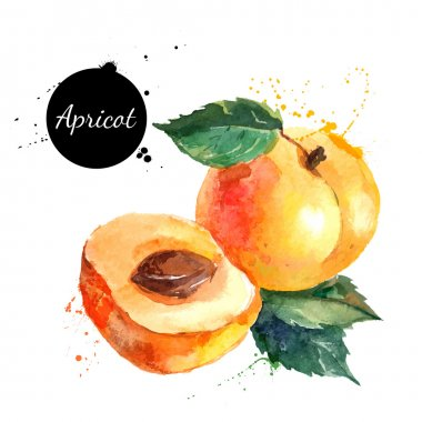 Hand drawn watercolor painting apricots