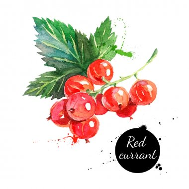 watercolor painting red currants