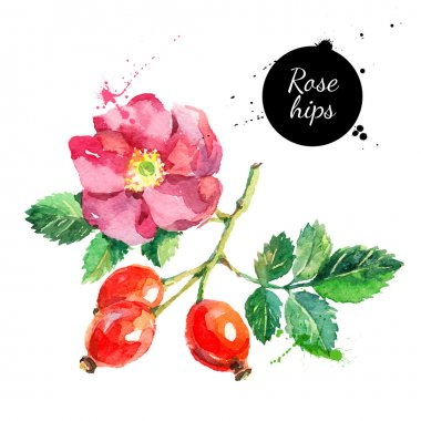 Hand drawn watercolor painting rosehips