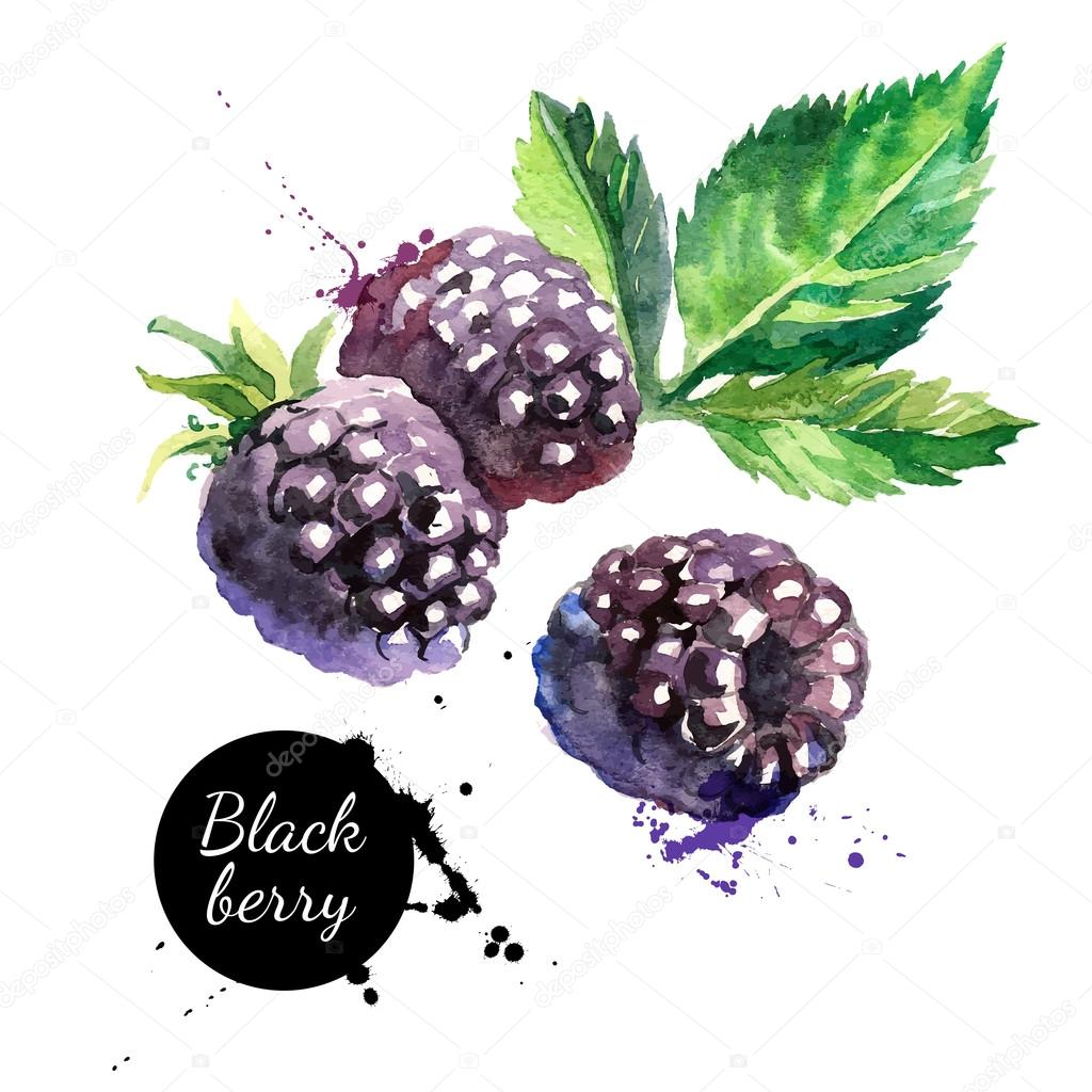 Hand drawn watercolor painting  blackberries