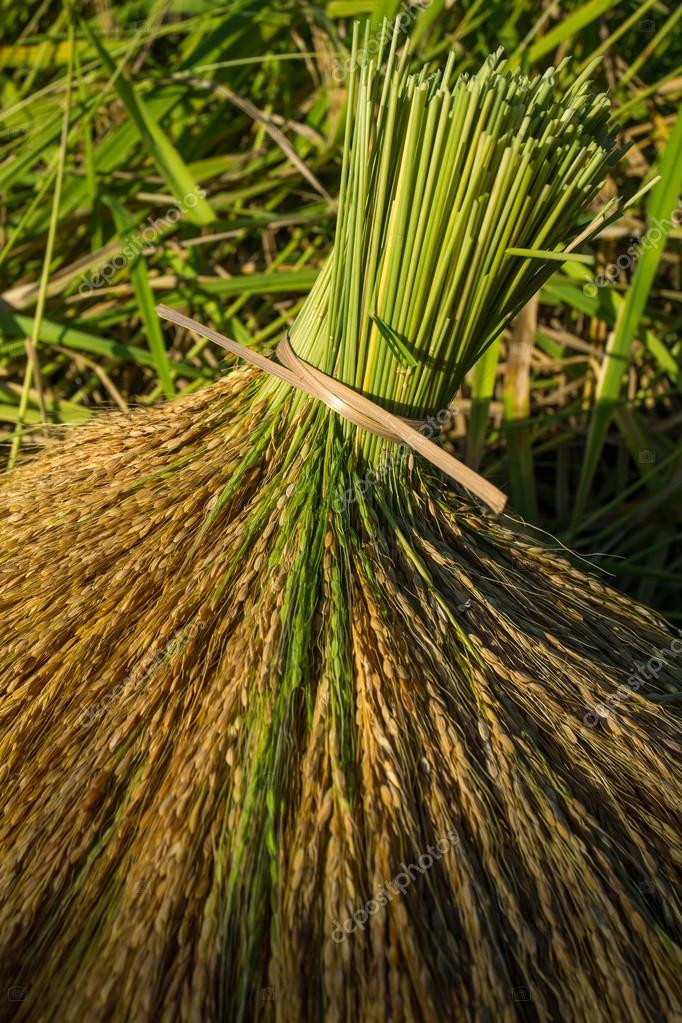 Rice sheaves after harvest