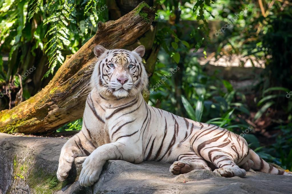 White male tiger