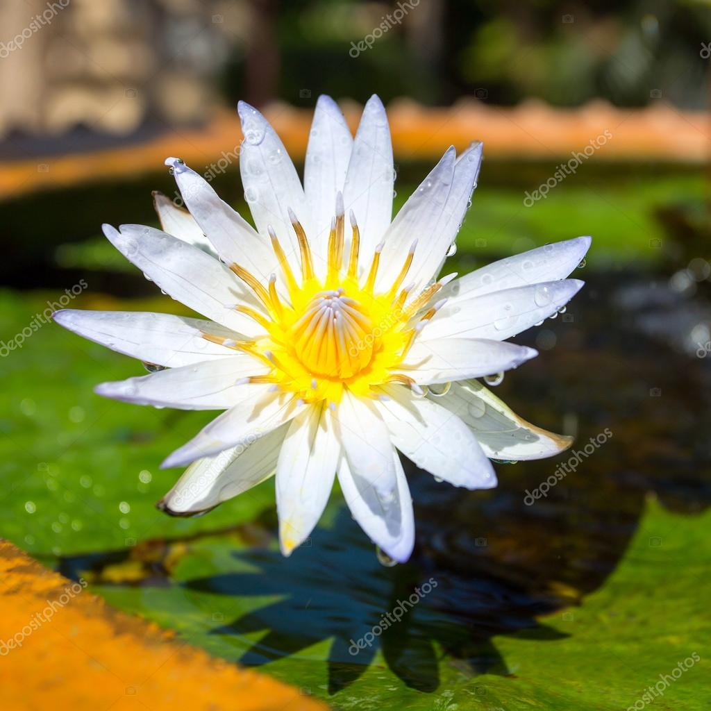 Beautiful white egyptian water lily flower nymphaea caerulea c beautiful white egyptian water lily nymphaea caerulea closeup photo by mazzzur izmirmasajfo