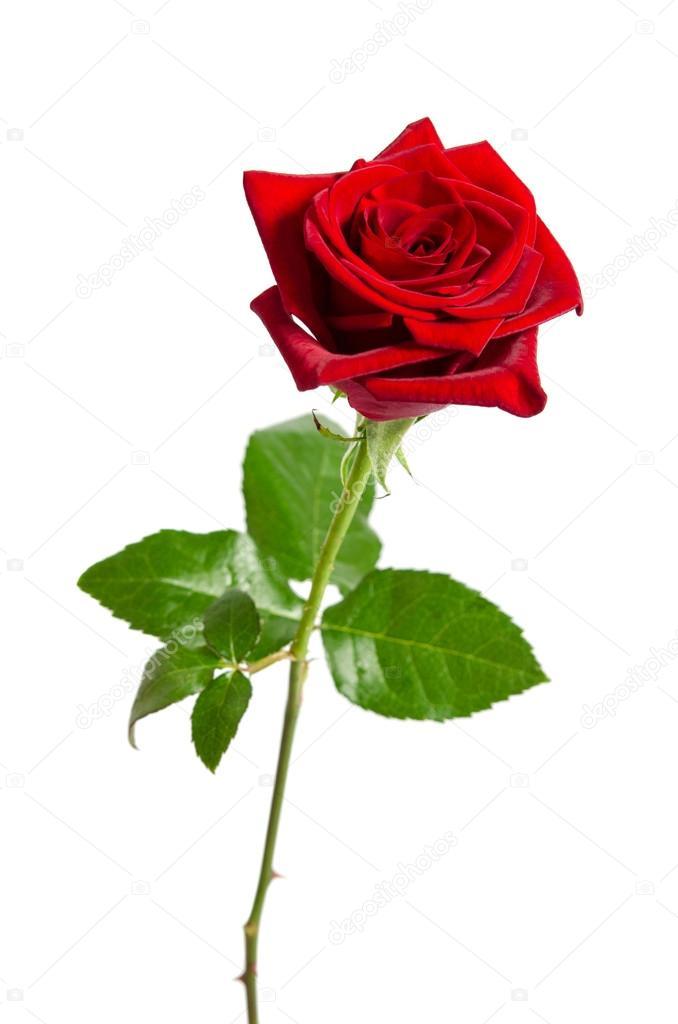 Bellissima Rosa Rossa Isolato Su Sfondo Bianco Foto Stock