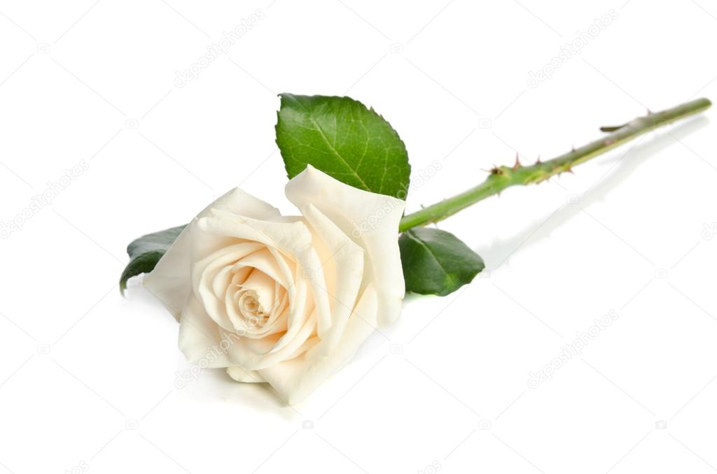 Single white Rose isolated on white background