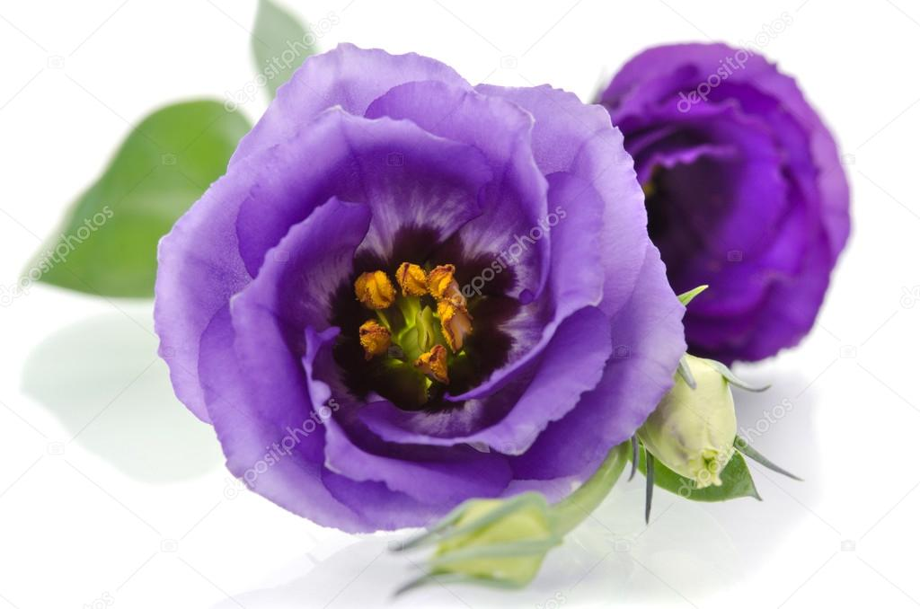 beautiful eustoma flower on white background.