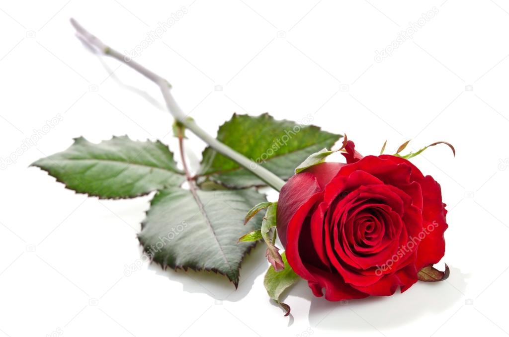 Beautiful Single Red Rose Flower Isolated Royalty Free: Beautiful Single Red Rose Lying Down On A White Background