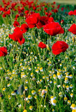 Poppies and camomiles