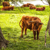 Domácí krávy na přírodu