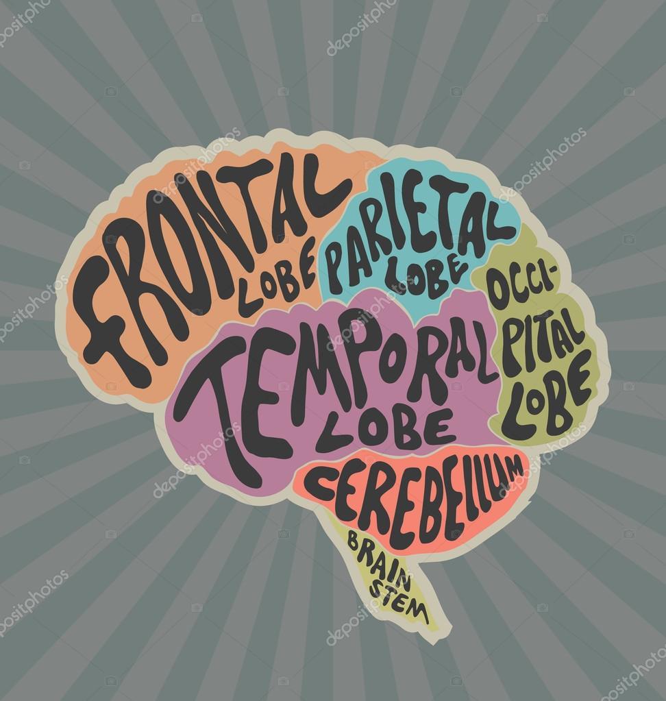 Parts Of The Human Brain Stock Vector Portokalis 86841280