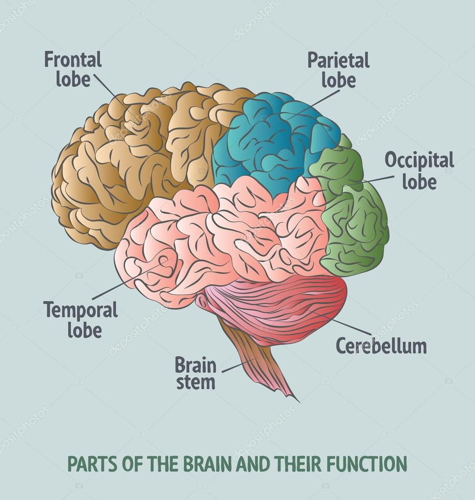 Partes del cerebro humano — Vector de stock © portokalis #86841422