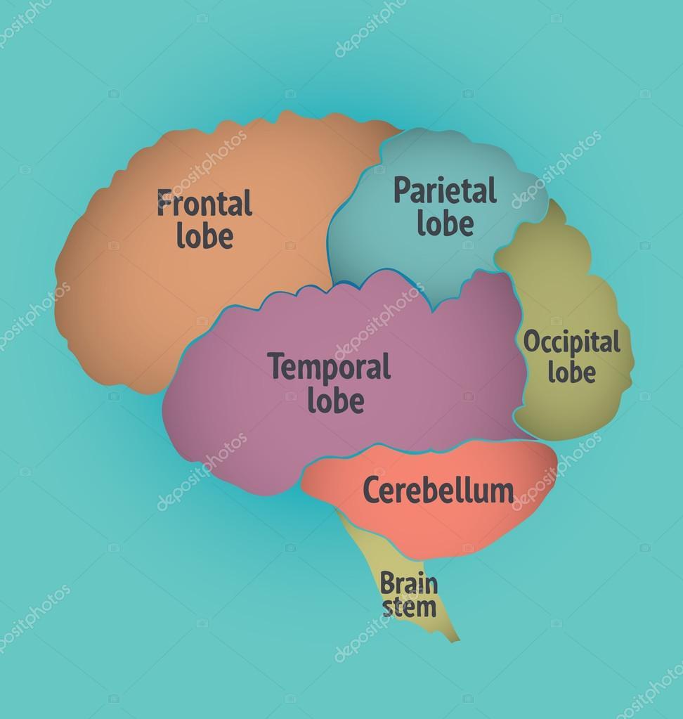 Partes del cerebro humano — Vector de stock © portokalis #86841446