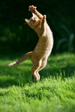 Ginger kitten jump