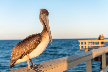 Pelican watching sunset on a wooden pier