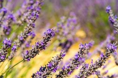 Beautiful lavender fields of Provence, France in July