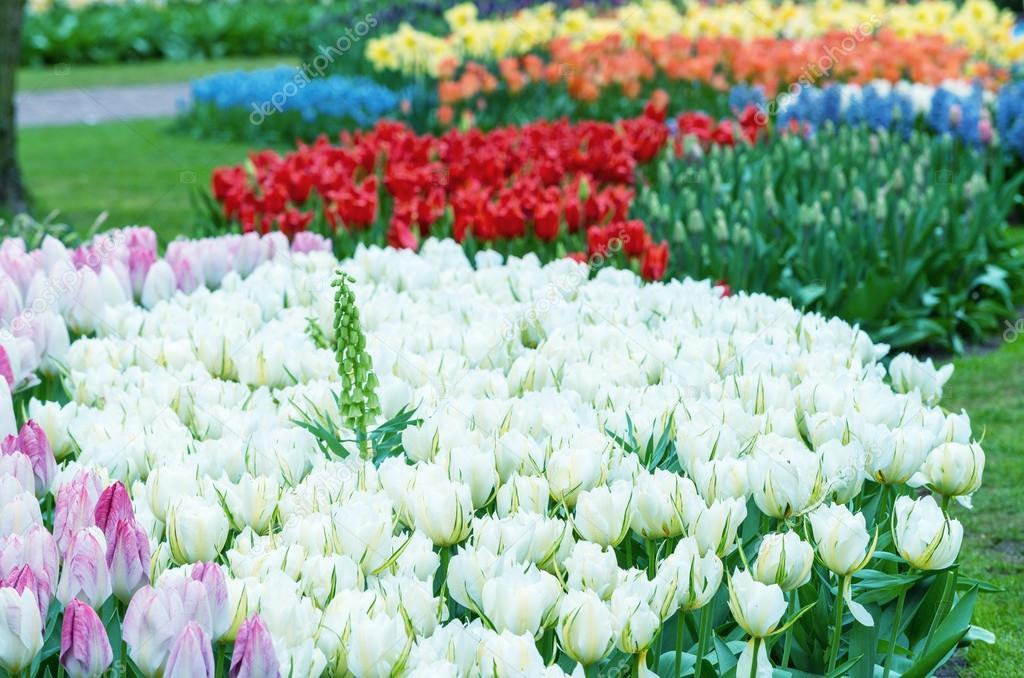 Achtergrond van de mooie tulpen in de keukenhof tuinen nederland