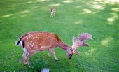 Fotografie Deers in a meadow