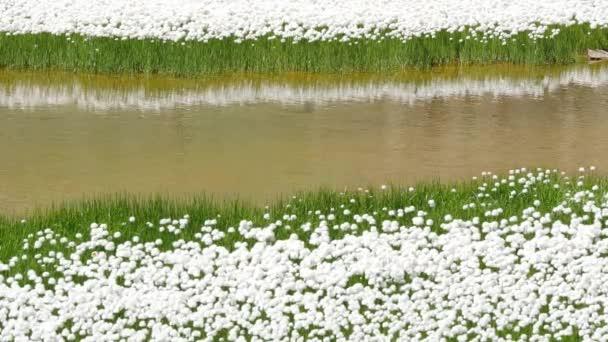 Bílé květy růže pole