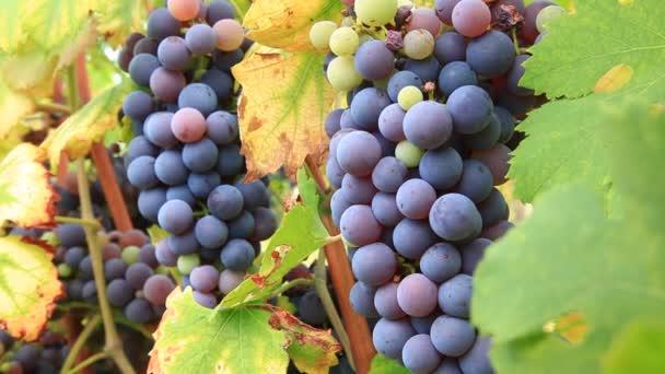 červené hroznové víno hrozny