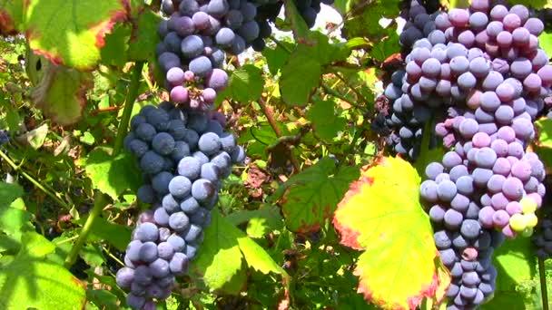 Eltolás nézet a piros szőlő