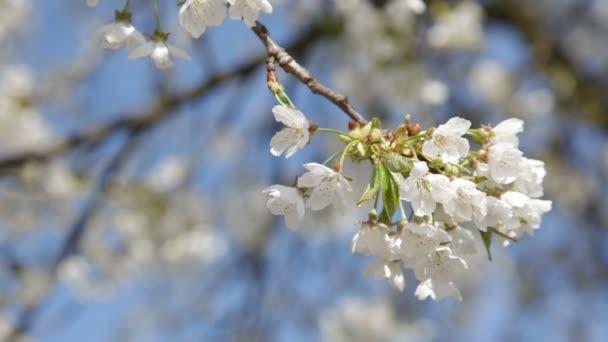 strom kvetoucí třešeň