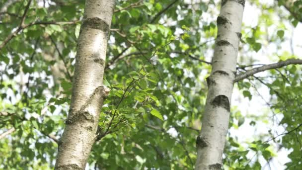 Birch trees in summer season