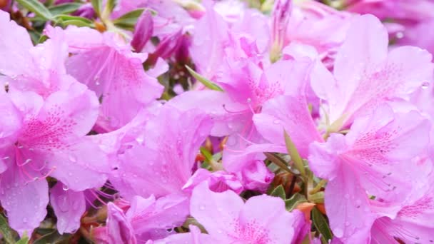 rózsaszín virágok a rhododendron