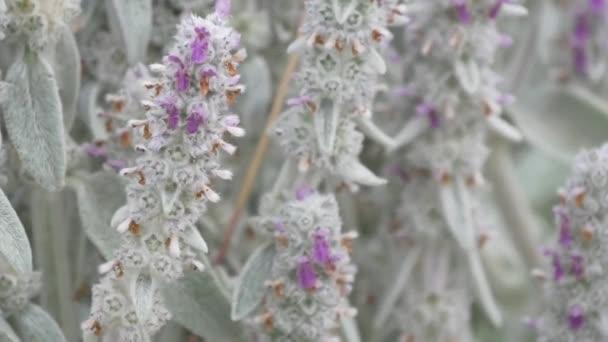 Közelkép a lila lavenders a virágok