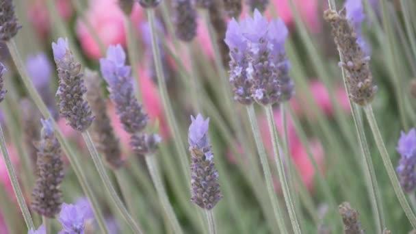 horská fialové květy