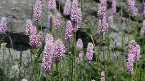 Mountain purple flowers