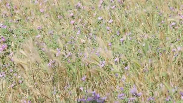 Purple Iris flowers after the rain