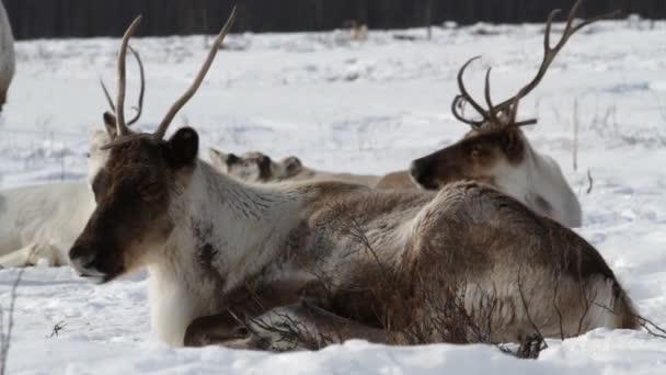 reindees