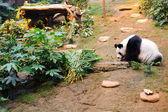 Panda bear in the zoo
