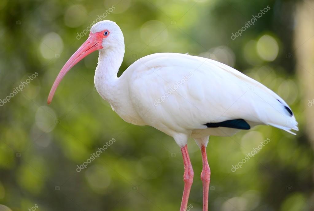 witte ibis vogel — stockfoto © nikonite #91475586