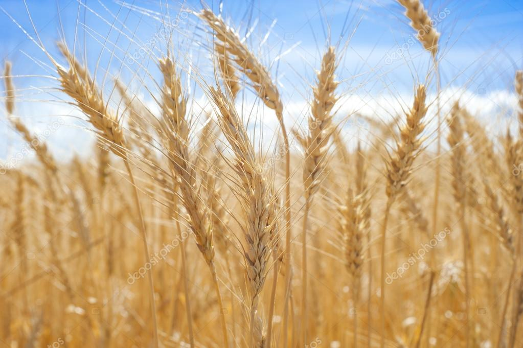 Our daily Bread Wheat
