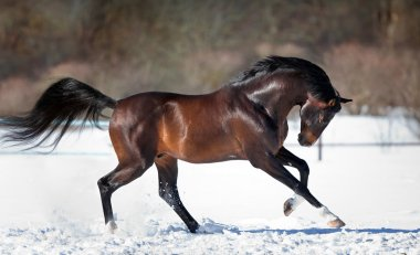 Brown horse running in the snow
