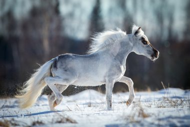 White horse running in the snow