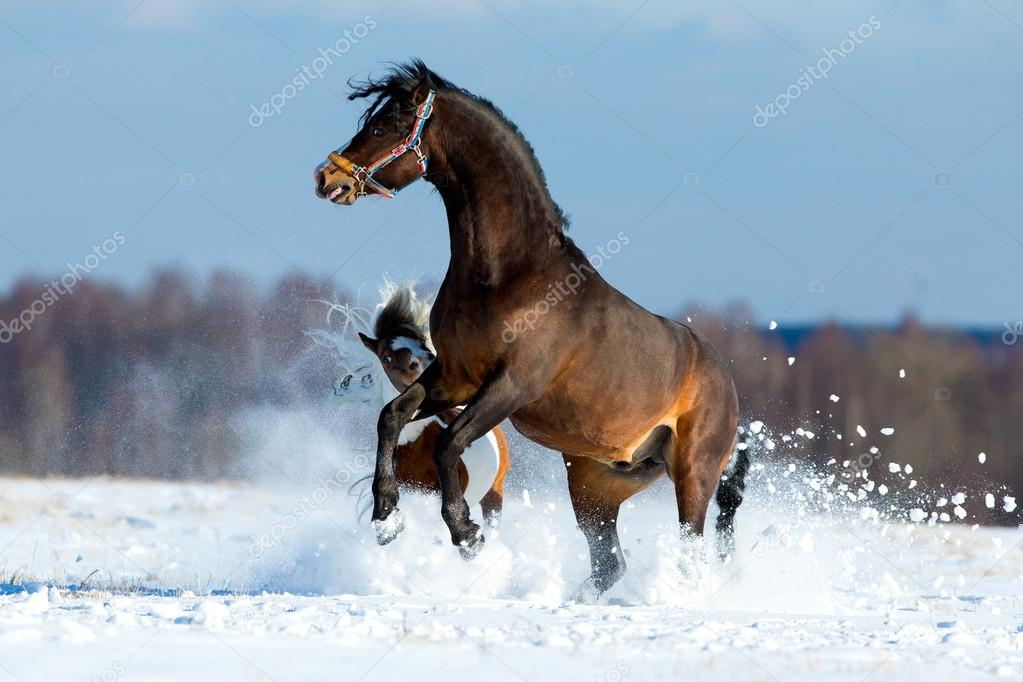 Two horses playing and running in the snow