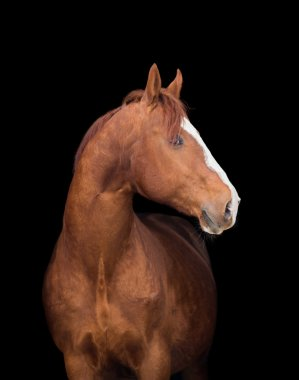 Chestnut Arabian filly