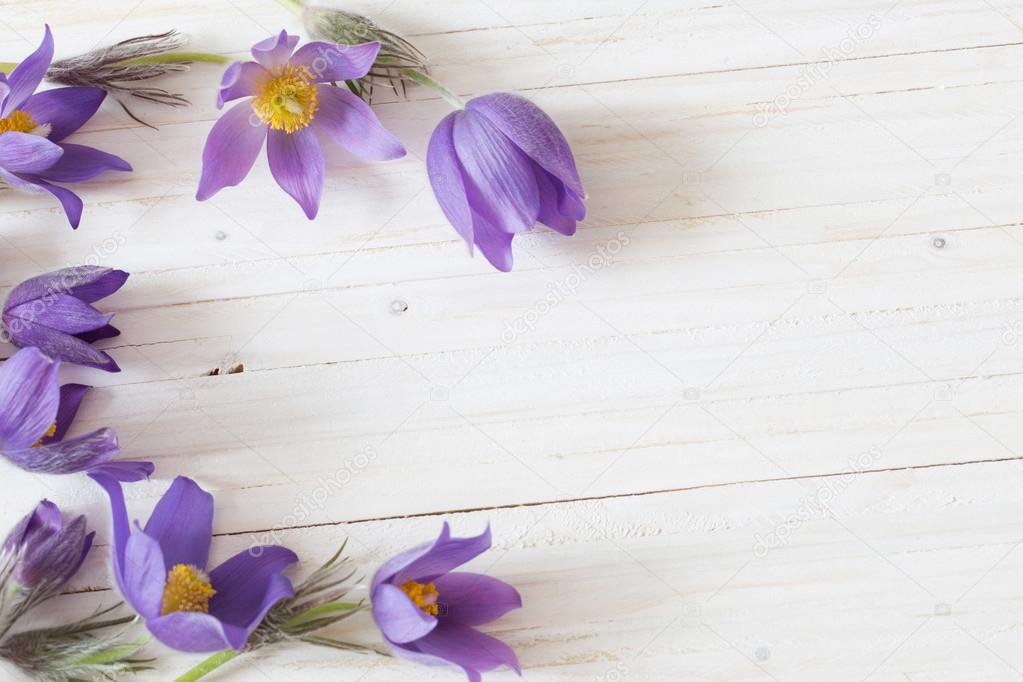 Pasque flowers on white wooden background