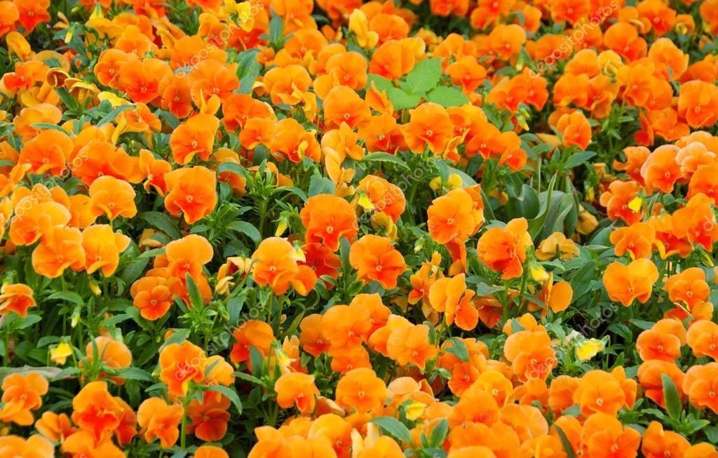 Champ De Fleurs Orange Printemps Pensees Photographie Yellek