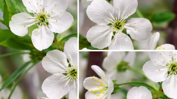 Spring flowers sequence (cherry, apple, apricot)