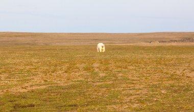 Unusual picture: polar bear on land in the polar day period. Novaya Zemlya archipelago, South island